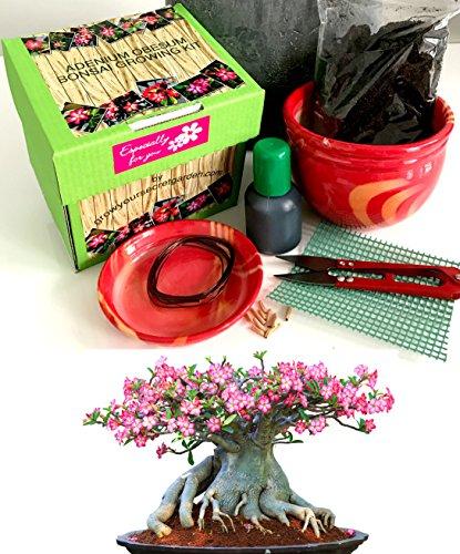 Exklusive Komplette Wüstenrose Bonsai Anzuchtset (Adenium))-Pflanzgefäß aus Keramik! Zehn Teile -Geschenk für einen Gärtner Desert Rose Set