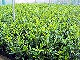 Kirschlorbeer Caucasica Containerpflanzen 100-120 cm