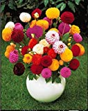 Flower Seeds Dahlia-Pompon Mixed Flower Seeds For Home Garden-100 Seeds by Creative Farmer