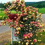 UPSTONE Bauergarten Ramblerrosen Samen Raritäten 100Stücke winterhart mehrjährig Kletterrosen - für Wände, Rosenbögen, Pergola Zäunen, Gartenhäuschen und Bäumen