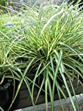 Japan-Goldsegge Evergold - Carex oshimensis Evergold