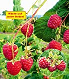 """BALDUR-Garten Winterhart Häberli Himbeere""""Polesie"""", 2 Pflanzen Herbsthimbeere wächst auf allen Böden"""