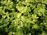 Jean Huchet  Plantes-Pittosporum Tenuifolium-Abbosbury Gold , Lot de 15 plantes en godet