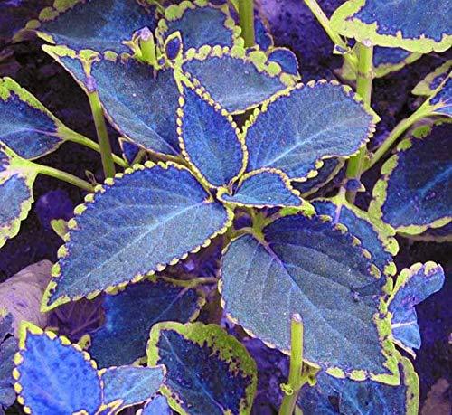 mymotto Blumensamen - 50pcs seltene Multicolor Coleus Samen exotische winterharte Coleus Blumei Blumensamen Hausgarten Balkon Pflanzen Coleus Canin