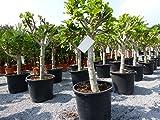 Feigenbaum 100-120 cm Obstbaum, winterhart, Ficus Carica, helle + dunkle Feige sehr kräftiger Stammumfang von 18-25 cm