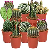 Cactus Mix - 10 Plants - House/Office Live Indoor Pot Plant - Ideal Gift