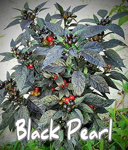 CalendTree Samen für Paprika mit schwarzer Perle, 25 Stück (Perlen Paprika)