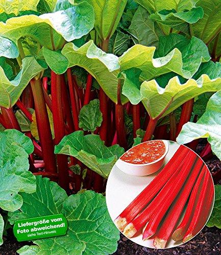 "BALDUR-Garten Immertragender Rhabarber ""Livingstone"",1 Pflanze"