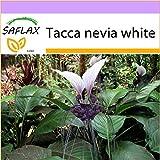 SAFLAX - Fiore pipistrello gigante - 10 semi - Tacca nevia white