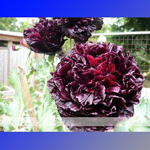 (Rouge Noir * Ambizu *) Rare Rouge Noir Pivoine Graines de fleurs, 1 Paquet professionnel, 5 graines