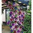 Ncient 50 Semillas de Clemátide de Colores Mixtos Semillas Flores Plantas Bonsai para Jardín Balcon Interior y Exteriores