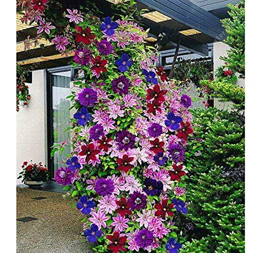 Ncient 50 semi sementi di clematide di colori misti fiori rari semi profumati fiori piante per orto giardino balcone interni ed esterni