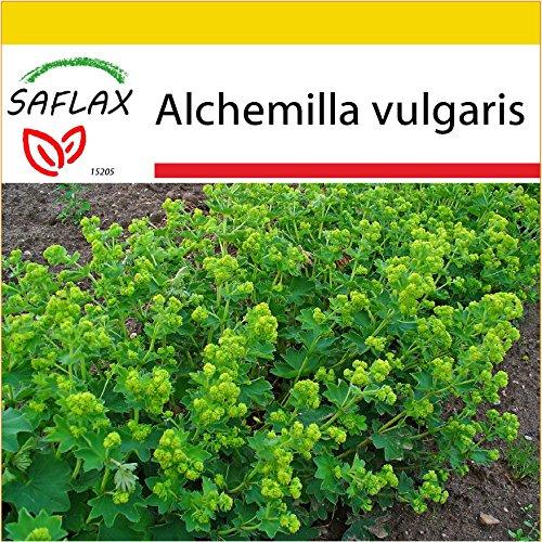 SAFLAX - Anzucht Set - Heilpflanzen - Frauenmantel - 100 Samen - Alchemilla vulgaris