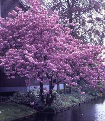 Japanische Blütenkirsche rosa blühend, 1 Strauch XL von Dominik Gartenparadies auf Du und dein Garten