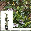 Inter Flower- Blaue Passionsblume `Passiflora caerula` Garten -und Balkonpflanze von Inter Flowers GmbH bei Du und dein Garten