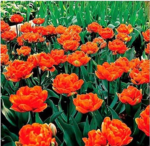 Acecoree Samen Haus- 100pcs Tulpe Blumen Samen,Blumensamen Saatgut bienenfreundliche winterhart mehrjährig für Balkon, Garten,Bauernhof