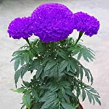 #4: 100 Purple Blue Marigold Seeds Home Garden Flower Plant Seed