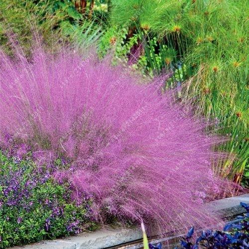 100 mix fétuque Semences à gazon - (Festuca glauca) herbe ornementale plante vivace si facile à pousser de l'herbe pour le jardin à la maison 13