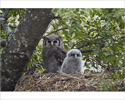 photographic-print-of-verreaux-s-eagle-owl-giant-eagle-owl-bubo-lacteus-adult-and-chick-on