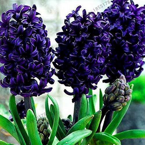 Nouvelle grande vente 105pcs / sac jacinthe comme, vivace jacinthe Flores mis en pot, fleur Bonsai en maison et jardin bleu foncé (GRAINES SEULEMENT)