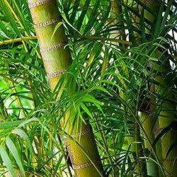 Plantree 15 Samen: Bambuspalme, Schilfpalme, Chamaedorea Seifrizii, Von 15 bis 2 Pfund Samen