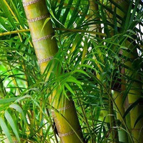 Bambuspalme Mehr Als 3 Angebote Fotos Preise