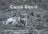 Canis lupus (Wandkalender 2019 DIN A2 quer): Impressionen in schwarz-weiss aus dem Leben der Wölfe (Monatskalender, 14 Seiten ) (CALVENDO Tiere)