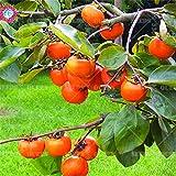 Shopmeeko Verkauf 2016 neue Sukkulenten Persimmon Pflanzen Obstbäume 20 Partikel Bio-Obstpflanzen für Hausgarten liefert