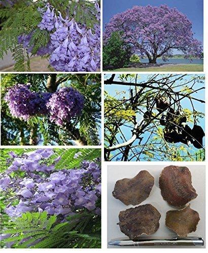 2x Jacaranda Wood Ziyun Samen Baum blaue Jacaranda...