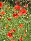 graines de Coquelicot des jardins , fleur annuelle