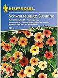 Thunbergia alata Schwarzäugige Susanne African Sunset gelb/rot