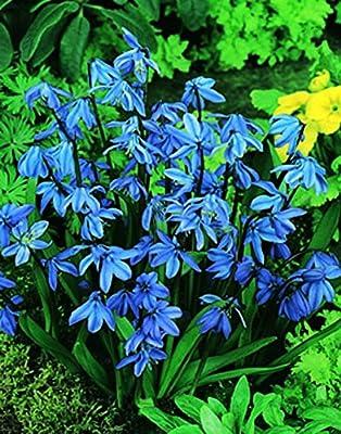 24 Zwiebel Blausternchen (Scilla siberica) Größe 6/7 von Amazon.de Pflanzenservice bei Du und dein Garten