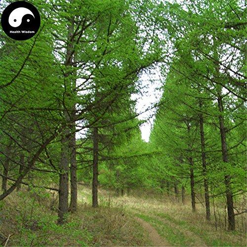 Kaufen Larix gmelinii Baumsamen 100pcs Pflanze Lärche Kiefer China Pinaster Luo Ye Lied
