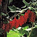 Groseillier Ribes rubrum Jonker van Tets - 1 arbrisseau