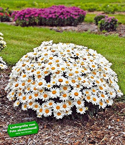 baldur-gartenleucanthemum-whoops-a-daisy-2-pflanzen-garten-margerite-winterhart