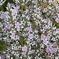 lichtnelke - Breitblättriger Meerlavendel (Limonium latifolium) von Lichtnelke Pflanzenversand - Du und dein Garten