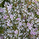 lichtnelke - Breitblättriger Meerlavendel (Limonium latifolium)