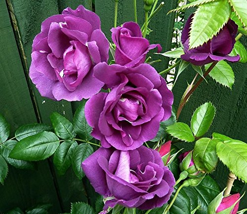 harkness-scented-garden-rose-rhapsody-in-blue-in-a-35-litre-pot