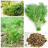 L'Europe Fragrant bulbes Graines de fenouil frais et vert bio légumes Foeniculum Dulce Anise aromatisée croustillantes Fenouil 100 graines / Sac