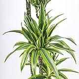 Drachenbaum 'Lemon Lime' - Dracaena fragrans 'Lemon Lime' Tuff - ca. 170 cm hoch, mit vier Trieben - 27 cm Kulturtopf - erstklassige Pflanzenqualität vom Fachgärtner