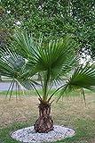 Seltene Palme Brahea edulis ca. 140-160 cm. Höhe Frostharte Palme bis - 8 Grad Celsius