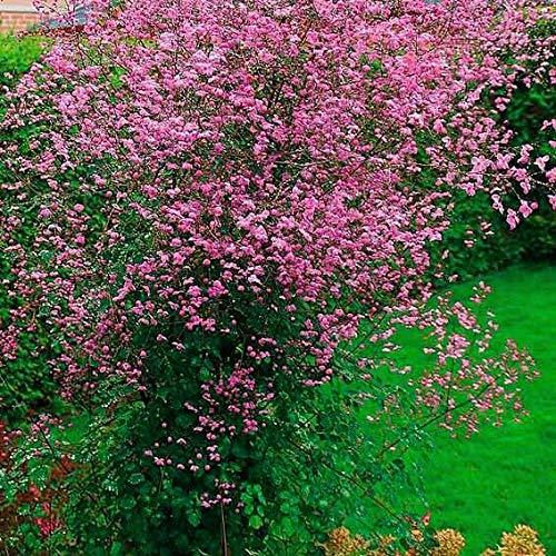 s Raritäten China Wiesenraute Rosa/Blau Blumensamen Mischung winterhart mehrjährig für Beete und Rabatten ()
