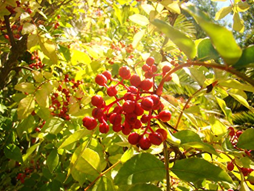 sechuan-or-japanese-pepper-trees-zanthoxylum-piperitum-spice-plant-edible-fruit-and-seed-young-seedl