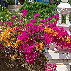 swiftt Mix-Farbe Bougainvillea spectabilis Willd Samen Garten Bonsai Pflanze Blumensamen,10pcs/20pcs/50pcs Bougainvillea Pflanze Samen