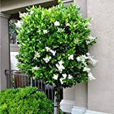 Future Exotics Ligustrum japonicum Texanum Echter Japanischer Liguster winterhart 41-43 cm