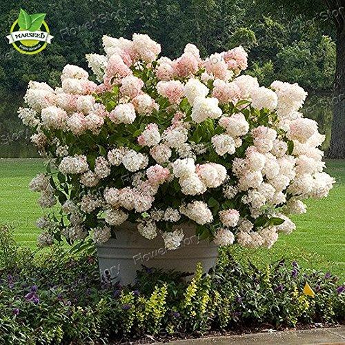 50 semi di vaniglia Fragola ortensia fiori per piantare in vaso o terreno facile da (Ortensia Albero)