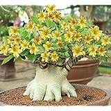 Aiden Gardens Rare 'Swaziland Princess' Sabi Star Gemini Desert Rose Yellow Adenium 1 Healthy Live Plant