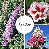Gehölz-Set Attraktive Sommerblüher weiß/rosa, mit 3 Pflanzen, je im 4,6 l Topf