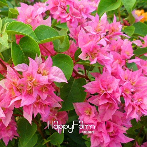 neue-frische-samen-100-pc-los-seltene-rose-pink-bougainvillea-spectabilis-samen-perennial-bonsai-pfl