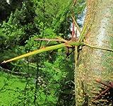 Christusdorn 20 frische Samen -Gleditsia triacanthos-